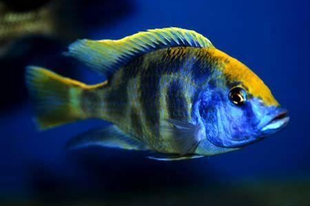 Nimbochromis Venustus Venustus Seriously Fish African Cichlids African Cichlid Aquarium Cichlids