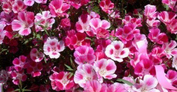 3 Common Name Godetia Double Flowered Azalea Latin Name Clarkia Amoena Ca Wildflowers Flower Seeds Fast Growing Flowers Pansies Flowers