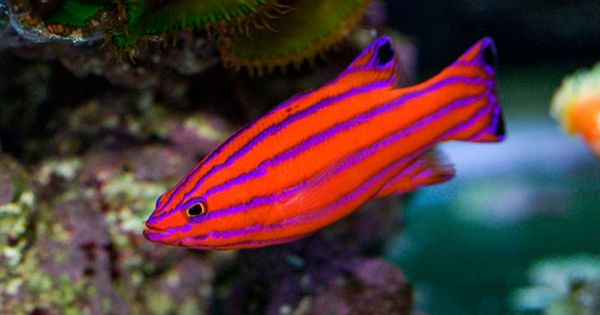 10 of the most expensive tropical fish therichest for Most expensive saltwater fish