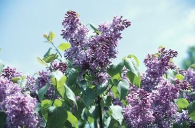 The Best Time To Transplant A Lilac Tree Lilac Plant Lilac Tree Lilac Bushes