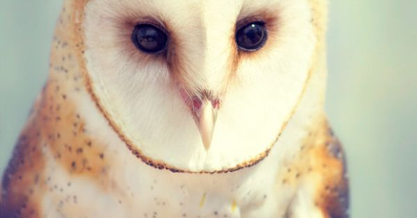 Bird - barn owl photographic print by Julie Parker-Garza