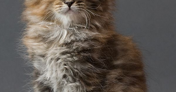 Maine Coon Kitten. What a precious little thing!