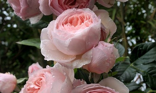 Heritage rose by David Austin - beautiful flowers.