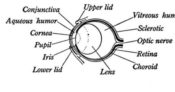 Labeled Eye Anatomy Frog Eye Anatomy