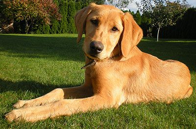 A Lab Golden Retriever Mix So Sweet