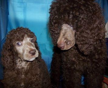 Silver Beige Left Vs Cafe Au Lait Right In Pups Poodle Pet