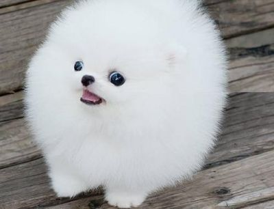 Cute And Adorable Teacup Pomeranian Puppy I Want One Now Bayi Hewan Lucu Anak Anjing Bayi Hewan