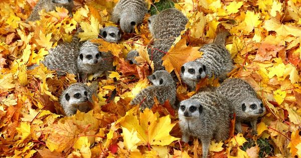 Meerkats play in autumn leaves at Blair Drummond Safari Park near Stirling,