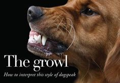 How To Handle A Growling Dog Dog Growling Dog Biting Dog Training