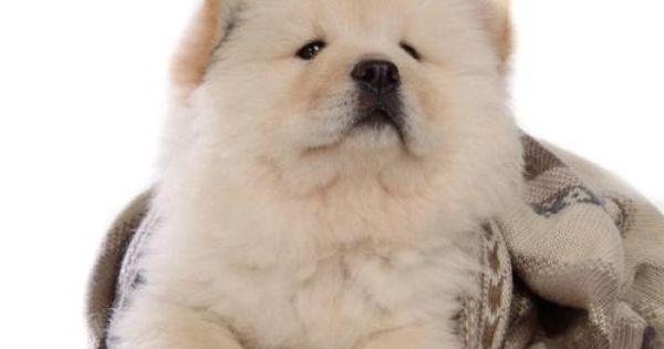 Puppies Wallpaper Chow Chow Puppy Wallpaper Chow Chow Puppy Chow Chow Dog Puppy Puppy Wallpaper