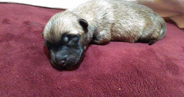 Belgian Malinois Puppy For Sale In Houston Tx Adn 44485 On