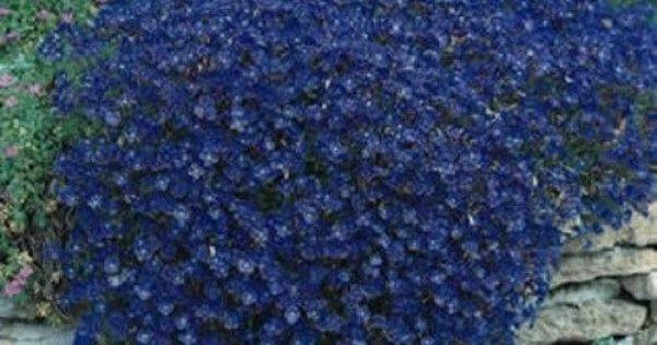 50 aubrieta rock cress blue perennial flower seeds ground for Perennial ground cover plants for sun