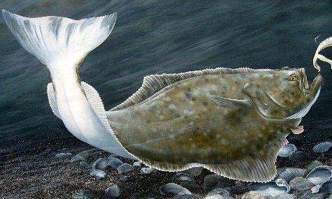 Picture Ocean Fishing Halibut Fish