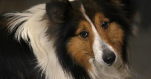 Adopt Buttons A Lovely 6 Years 8 Months Dog Available For Adoption At Petango Com Buttons Is A Shetland Sheepdog And Is Available At T Dog Adoption Dogs Pets