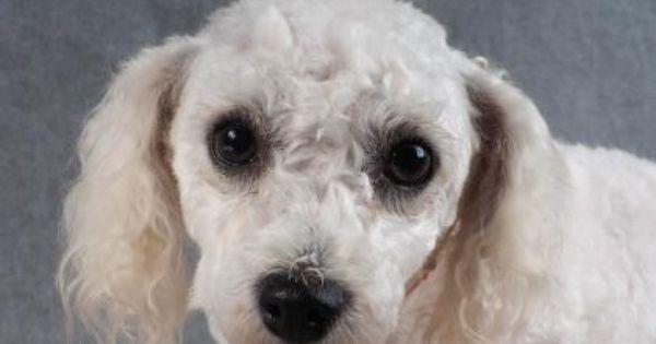 Meet Angel A 3 Years 2 Months Bichon Frise Available For Adoption In Colorado Springs Co Bichon Frise Little Dogs Bichon