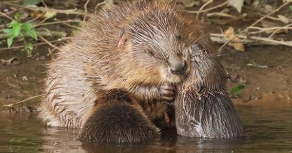 Rare Wild Beaver Killed By Car During Thought To Be First Run Over In Britain River Otter Wildlife Otters