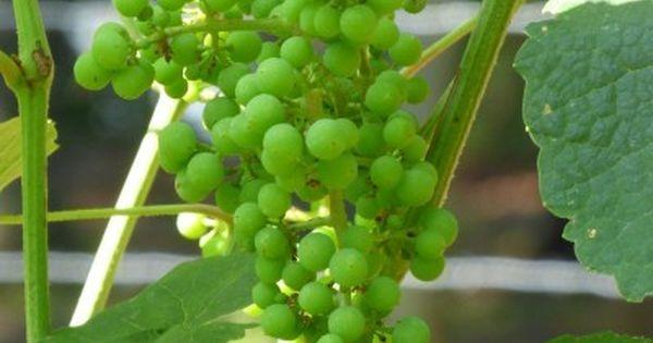 Grapevine Fertilizer When And How To Fertilize Grapes Grape