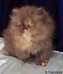 Chocolate Kitten Pictures Chocolate Persians Bicolors Tabby Himalayans Persian Kittens Persian Cat Kitten Pictures