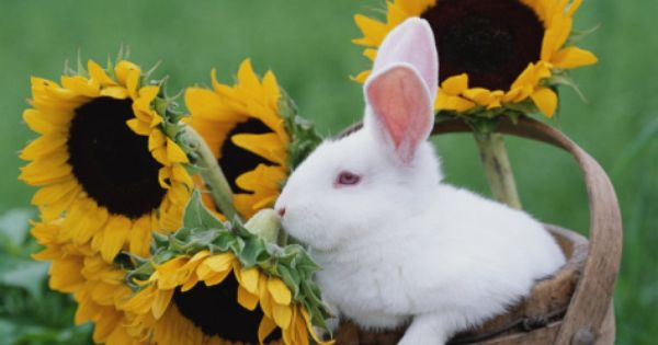 New Zealand Rabbit in Basket with Sunflowers, USA ...