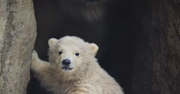 Amazing photo. The baby polar bear's mom looks almost ghost-like in the