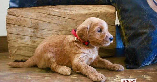 Litter Of 9 Australian Labradoodle Puppies For Sale In Waco Tx