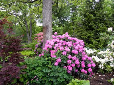 Elegance Beauty Rhododendron Azalea With Images