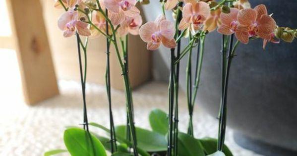 Les fleurs d int rieur les orchid es en 40 images les orchid es chez soi et orchid es - Arrosage orchidee d interieur ...