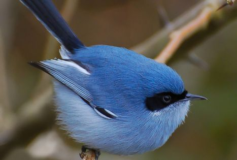 The blue fairy wren of Australia. It's like a mix of my