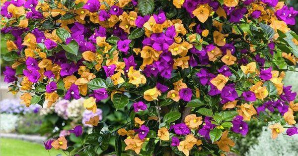Livraison gratuite 100 mix couleur bougainvilliers balcon for Livraison fleurs livraison gratuite