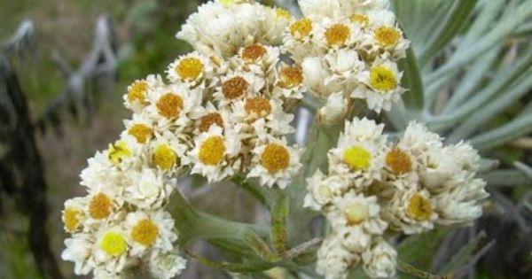 Anaphalis Javanica Edelweis Jawa Gambar Bunga Bunga Gambar