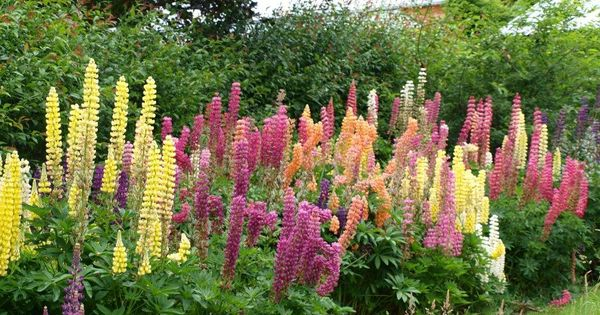 Ideal for a cottage garden russell lupins lupinus for Cottage garden designs australia