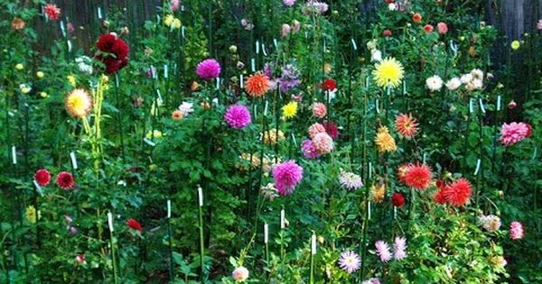 Winter Flowers Care Tips Dahlia Petunia Salvia Flower Chrysanthemum Mammal Bonsai Youtube Growing Dahlias Plants Winter Flowers