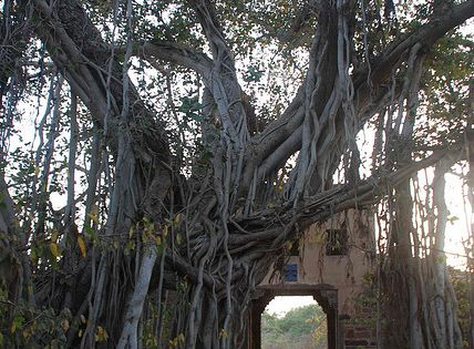 A 500 year old banyan tree integrated with an old fort gate,