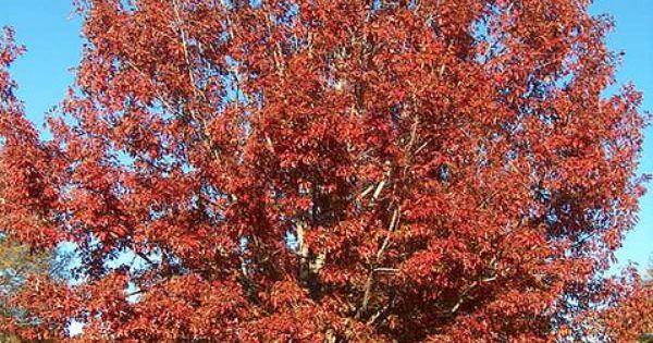 Quercus Shumardii Shumard Oak Large Specimen Shade Tree