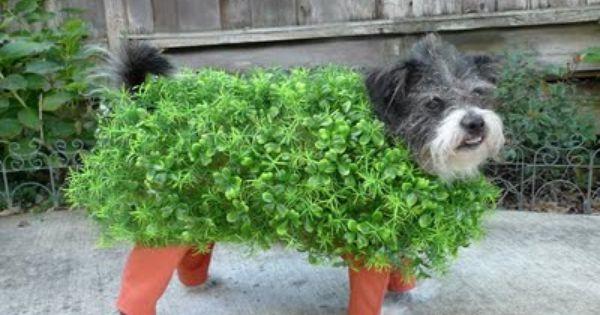 CHIA pet dog Halloween costume :)