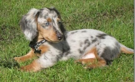 Photo Gallery Washington State Dachshunds Our Past Present