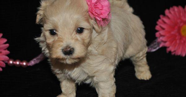 Maltipoo Puppies For Sale In Garner Nc Post