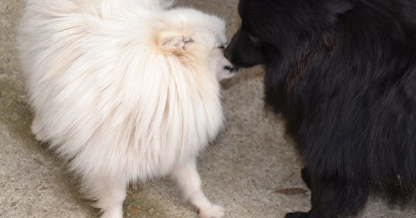 Adorable German Spitz Klein Cross With Yorkshire Terrier Puppies
