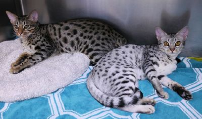 Pin On Ocicat Cats