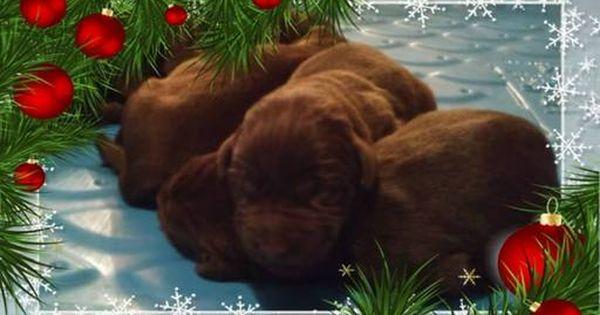 Litter Of 9 Labrador Retriever Puppies For Sale In Scranton Nc