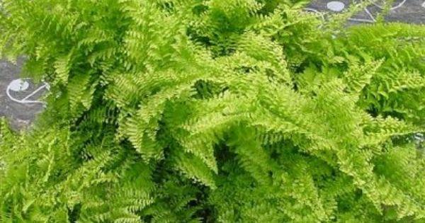 937ca431cbd2fd1e4c751b4dc6436b13 Polypodiaceae House Plant on peperomia house plant, fern house plant, monstera deliciosa house plant, spanish moss house plant, philodendron house plant,
