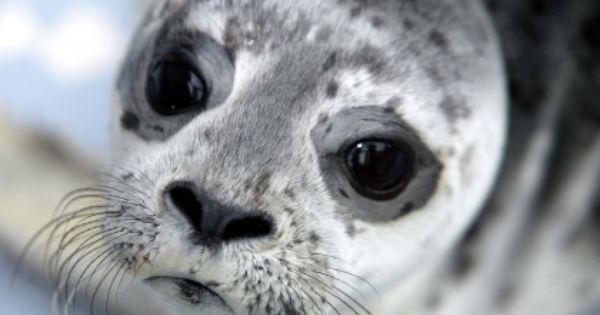 Die Robbe Schaut Aber Traurig Aus Traurig