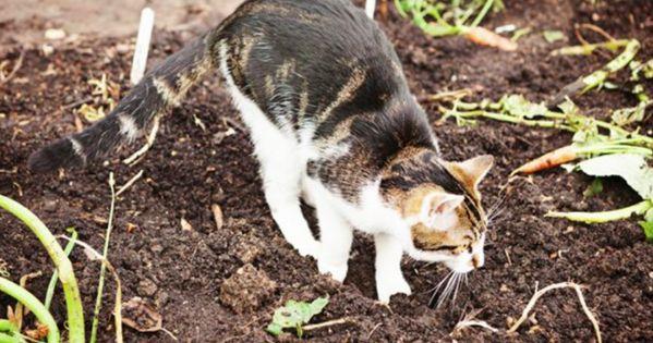 Comment cr er un r pulsif naturel et non dangereux pour les chats grandmothers facebook and belle - Repulsif chat plante ...