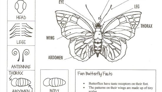 Parts of a Butterfly Printable