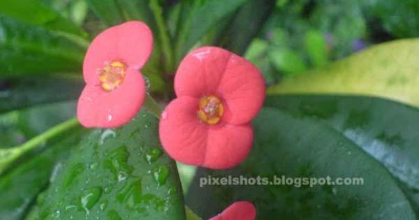 Pin By Lin On Indian Flowers Ornamental Plants Indian Flowers Euphorbia