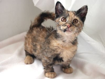 Here Is Long List Of Beautiful Curly Haired Cat Breeds In The World Like Skookum Selkirk Rex Laperm Devon Rex Cor Small Cat Breeds Munchkin Cat Cat Breeds