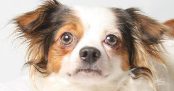 Meet Conner A 1 Year 9 Months Chihuahua Long Coat Available For Adoption In Colorado Springs Co Small Dog Adoption Chihuahua Puppy Adoption
