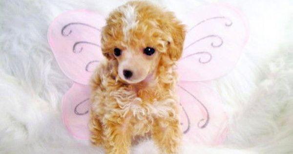 Miniature Tea Cup Poodles Puppies Teacup Poodle Puppy For Sale