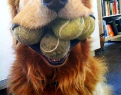 Go for it! {funny dog, tennis balls, fetch, golden retriever, gusto, bring