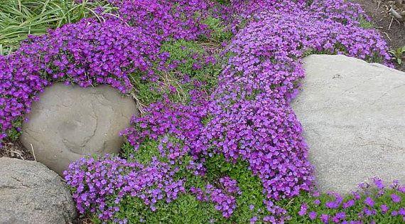 Rock Cress Aubrieta Cascade Purple Perennial Ground